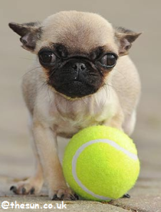 http://absoluterevo.files.wordpress.com/2011/10/world25e225802599s-smallest-dog-the-sun.png?w=227